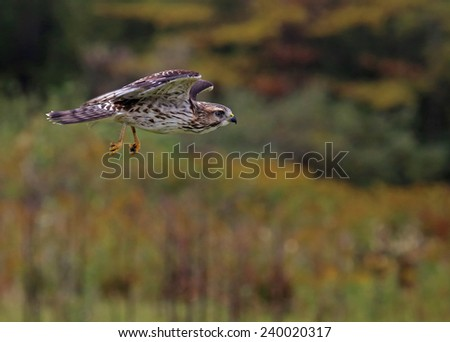 A Broad-winged Hawk (Buteo platypterus) flying through the air.  - stock photo