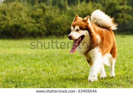 A brown adult Alaskan Malamute - stock photo