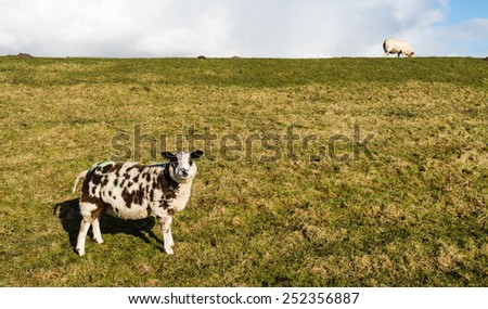 A brown and white sheep standing on the slope and a white one on top of the dike. - stock photo