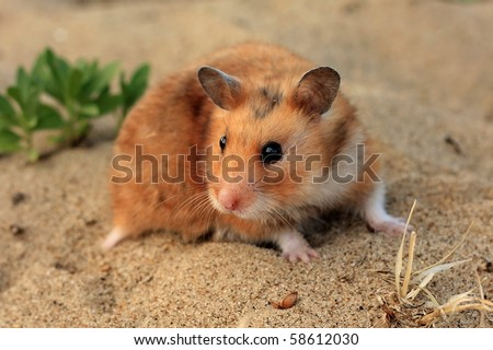 A brown and white Syrian hamster on the sand - stock photo