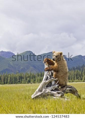 A brown bear climbing a tree stump - stock photo