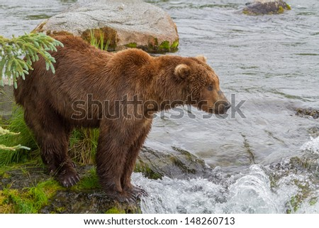 A Brown Bear in Katmai National Park in Alaska standing by Brooks falls awaiting the arrival of Salmon - stock photo