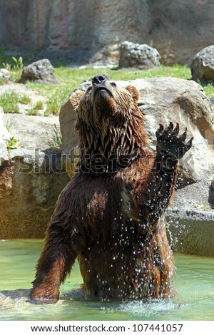 A brown bear (Ursus arctos) is jumping out from water - stock photo