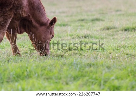 A brown cow grazing on the green meadow in Scotland - stock photo