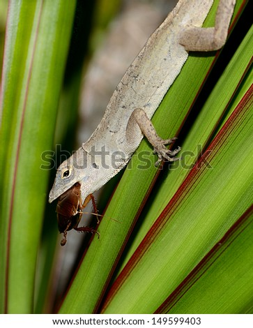 A Brown Cuban Anole Lizard Eating A Cockroach On A Palm Frond - stock photo