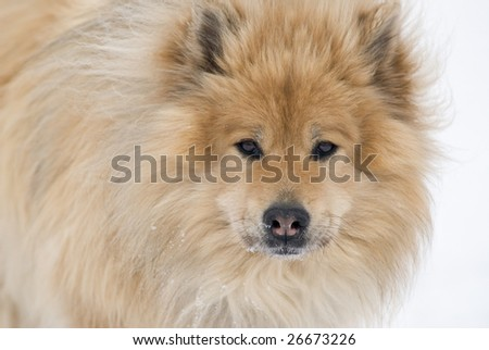 a brown eurasier dog looking right into the camera on a snowy background - stock photo