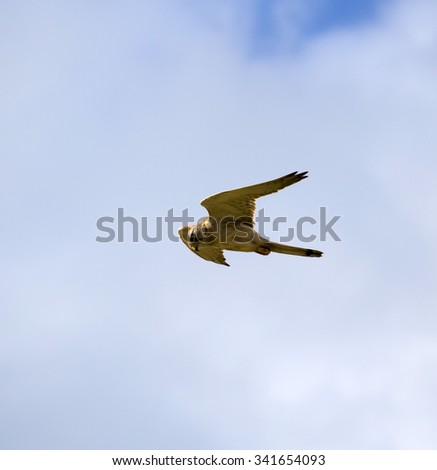 A Brown Goshawk ,Australian Goshawk, Chicken-hawk, Grey-headed Goshawk, Western Goshawk, Collared Goshawk  a medium-sized raptor (bird of prey) hovering over prey in the sand dunes in late spring.  - stock photo
