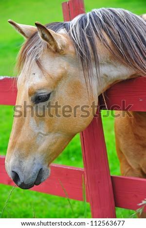 A brown mare resting her head on the fence rail. - stock photo