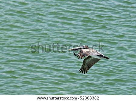 A Brown Pelican on the Alabama Gulf Coast. - stock photo