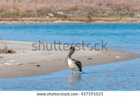 A brown pelican wades in water surrounded by dead fish as a result of a red tide algal kill on the Texas Gulf Coast near Corpus Christi, on Padre Island.  - stock photo