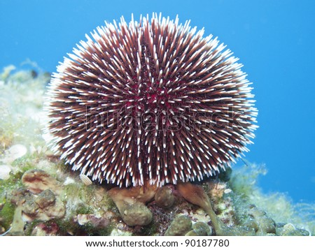 A brown sea urchin near island of Solta - stock photo