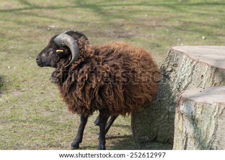 A brown sheep - stock photo