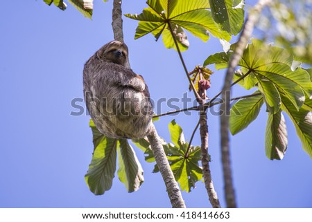 A brown-throated sloth sits on a branch high up in a tree. - stock photo
