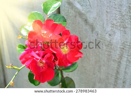 A brunch of dog-rose breaking through a wooden fence - stock photo