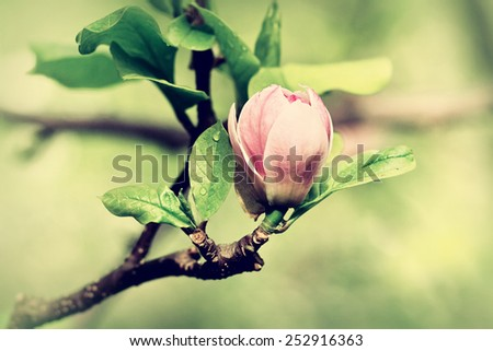 A bud of magnolia just ready to burst, spring background - stock photo