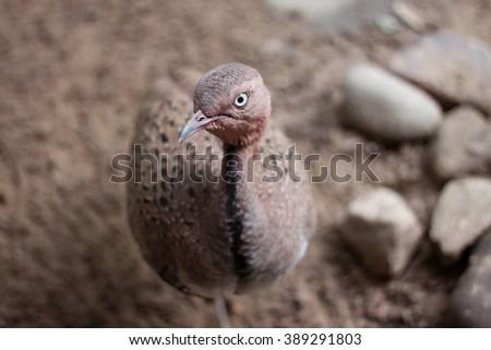 A Buff Crested Bustard bird - stock photo