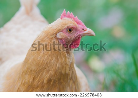 A Buff Orpington on a background of grass - stock photo