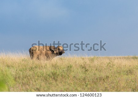 A buffalo standing in the tall grasslands of Nairobi National Park - stock photo