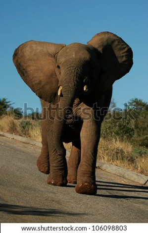A bull elephant mock charges and extends his neck and shakes his head to show dominance during a safari in Addo elephant national park,eastern cape,south africa - stock photo