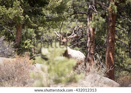 A bull elk that was previously hiding looks up and over a tree at photographer - stock photo