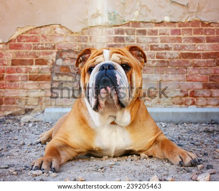 a bulldog in an alley with a brick wall - stock photo