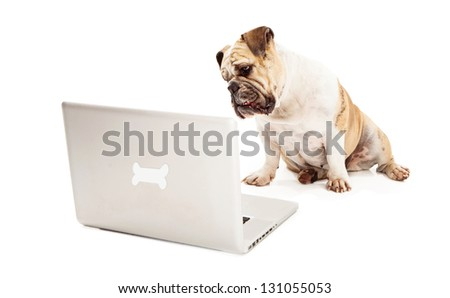 A Bulldog sitting against a white backdrop looking at a laptop computer that has a bone logo on the back of it - stock photo