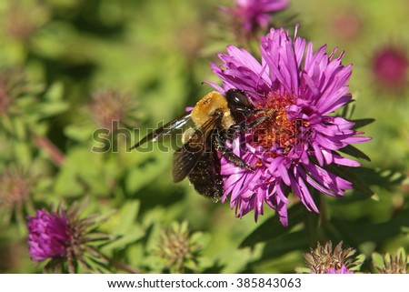 A bumble bee, covered in pollen, visits a purple New England Aster flower. - stock photo