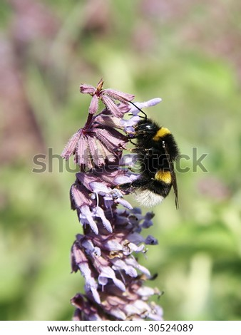 A Bumblebee meal - stock photo