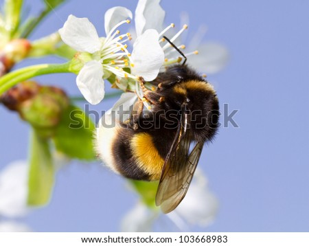 A bumblebee on a white flower - stock photo