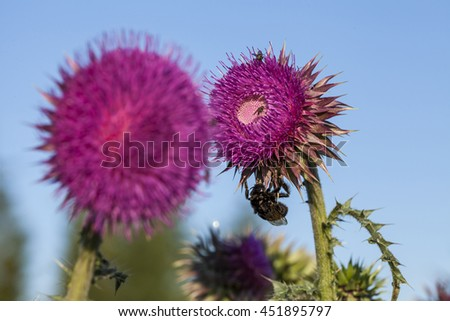 a bumblebee on musk thistle (Carduus nutans) - stock photo