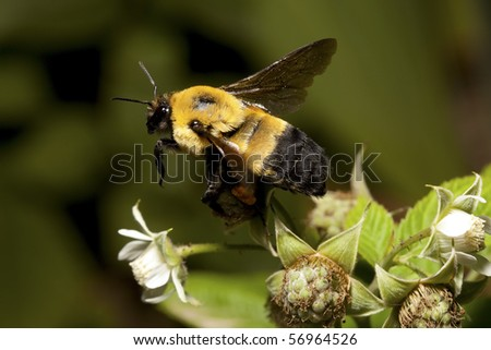 A bumblebee takes flight from a Raspberry. - stock photo