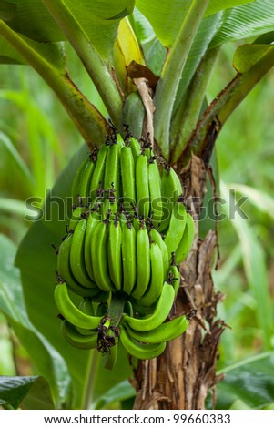 A bunch of bananas in their natural environment - stock photo