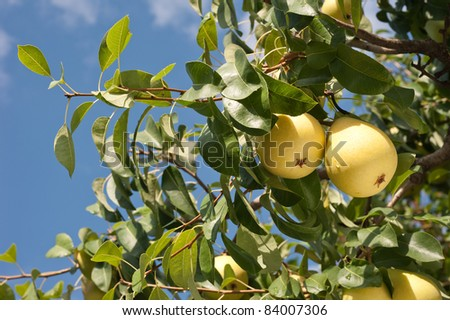 a bunch of fresh tasty pears hanging on a tree - stock photo