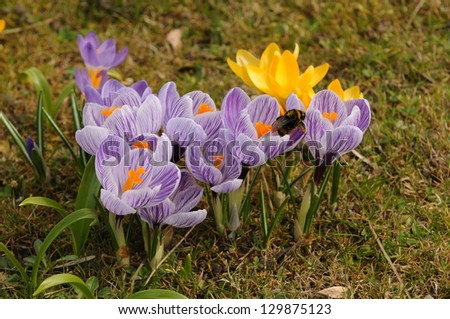 A bunch of lilac and yellow crocus flowers with a bumblebee - stock photo