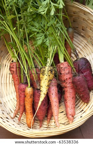 A bunch of multi colored organic carrots in a basket. - stock photo
