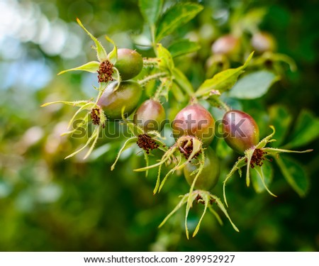 A bunch of  ripening  rosehips on vine. Soft selective focus and shallow depth of field - stock photo