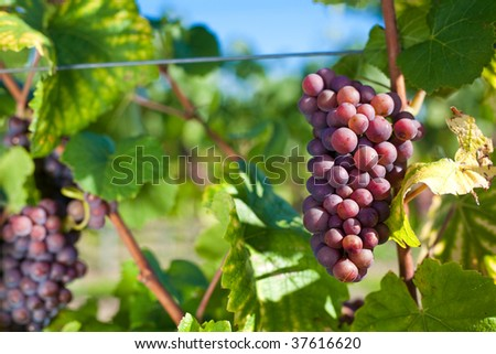 a bunch of winegrapes on a large vineyard - stock photo