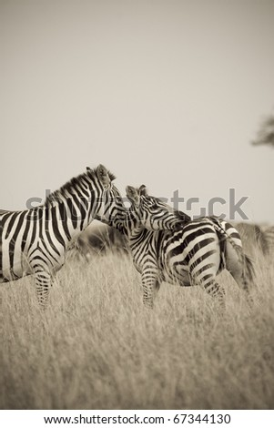 A burchell's zebra & her young on the Masai Mara during the Great Migration (sepia tone). - stock photo