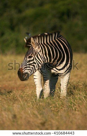 A burchell zebra submerged in grass in this lovely low angle front on portrait.Taken while on safari in the eastern cape,south africa - stock photo