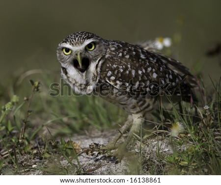 A Burrowing Owl expels an Owl pellet - stock photo