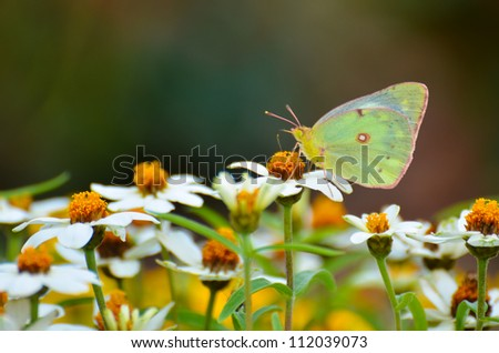 A butterfly on daisy flowers - stock photo