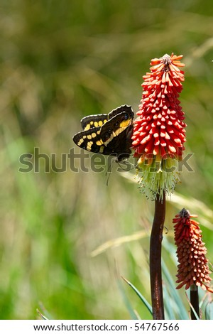 A butterfly sitting on Red Hot Poker - stock photo