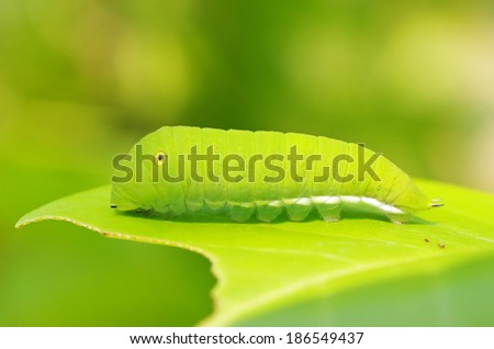 a butterfly worm is resting on the eaten leaf - stock photo