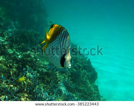 A butterflyfish in Okinawa - stock photo