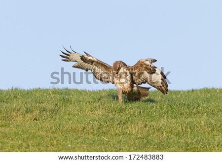 A buzzard is landing on its prey - stock photo