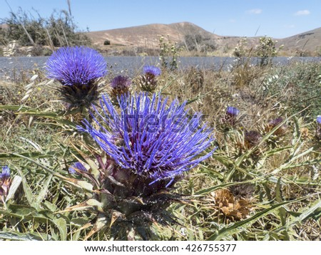A cactus from the canary islands blooming in spring in violet. - stock photo