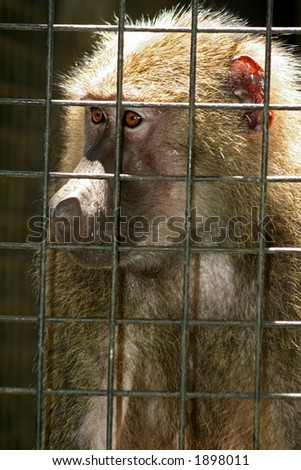 A caged macaque looking miserable. - stock photo
