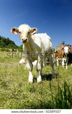 A calf - stock photo