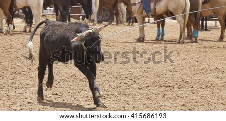 A calf caught up in the lariat of a team roper in a dirt arena does not seem happy about being lassoed. - stock photo