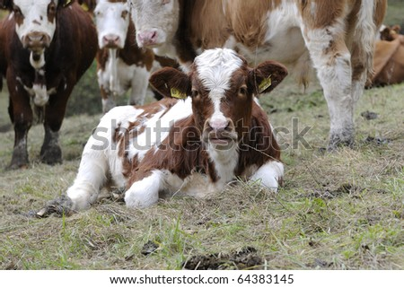 A calf on the grassland - stock photo